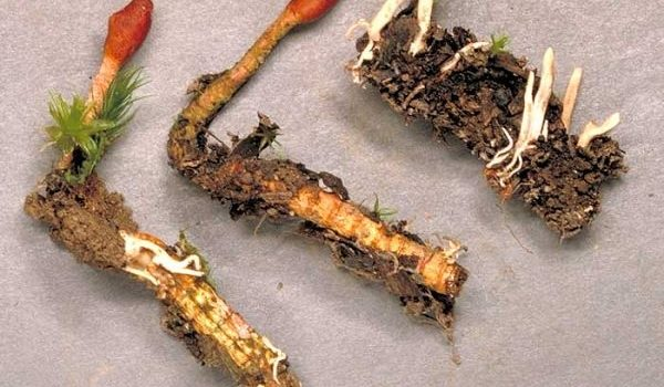 Công dụng đông trùng hạ thảo